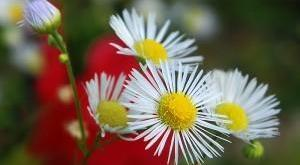 fiore_di_campo