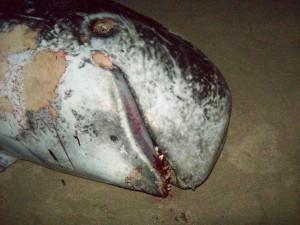 Cetaceo spiaggiato a Torre Ovo e mutilato da sconosciuti