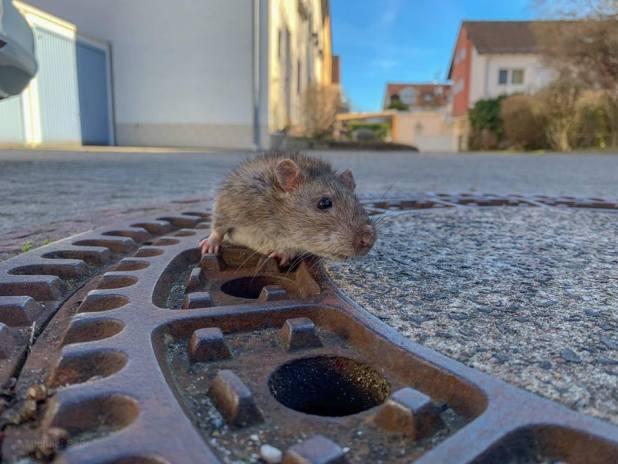 Grosso topo incastrato nel tombino, salvato da 8 vigili del fuoco | Video