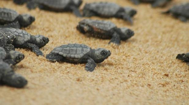 La tartaruga marina preferisce nidificare in Puglia: Due nidi di Caretta caretta nel Leccese