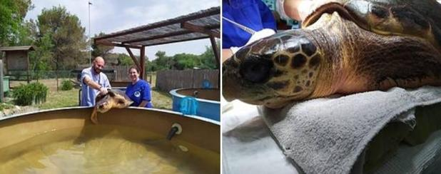 Anna, la tartaruga imprigionata in una lenza che tornerà a nuotare