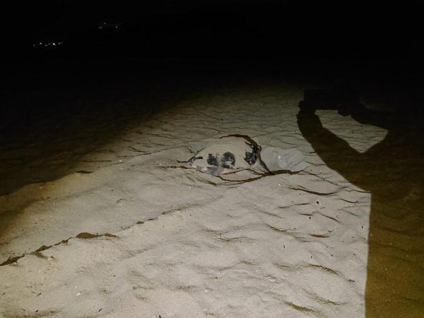 L'eccezionale VIDEO che documenta la deposizione delle uova della tartaruga marina a San Pietro in Bevagna
