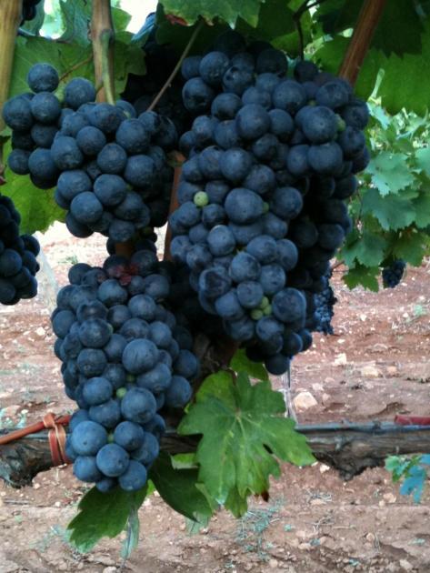 Difesa del Primitivo: Puglia Compatta. Il Gal Terre del Primitivo plaude alla mozione del Consiglio regionale a tutela del prezioso vino.