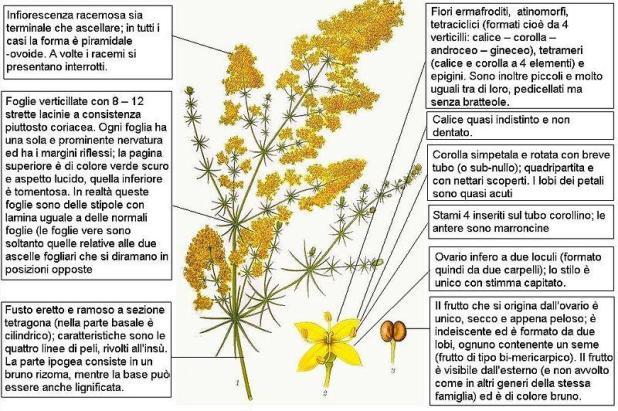 Il Galium verum (Caglio zolfino) nella tradizione: curiosità, impieghi, proprietà