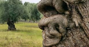 Gli ulivi sono persone. Di Marcello Veneziani