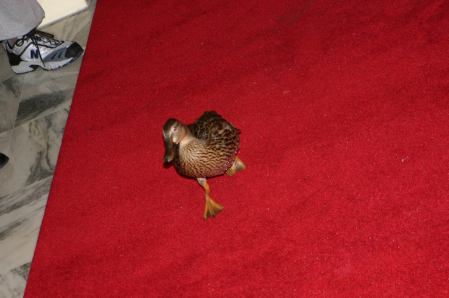 peabody ducks - canards