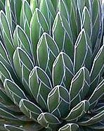 Une variété d'agave