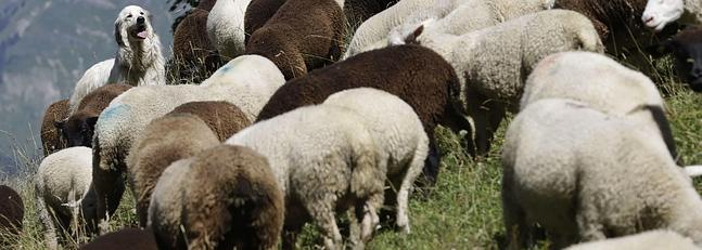 La gula de los corderos