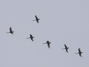 svaner flyr over gården