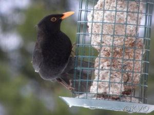 svarttrost hann på fettboller