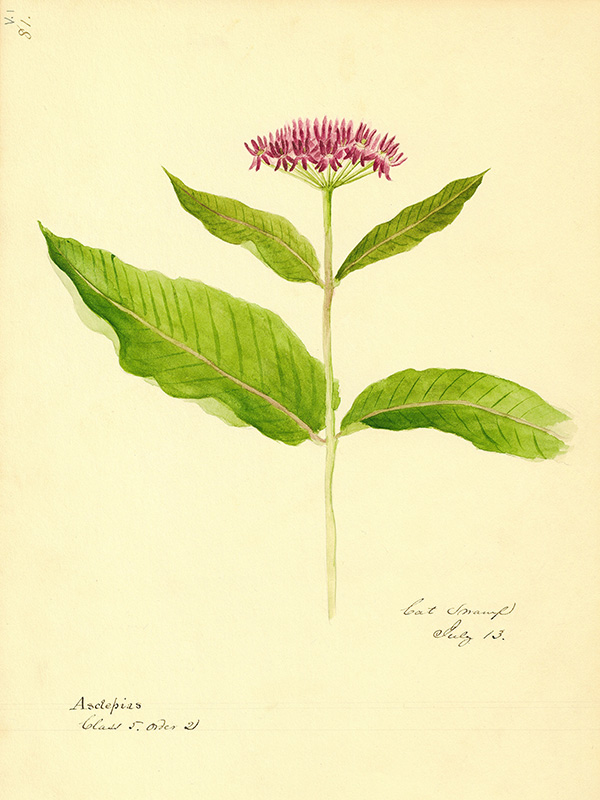 Edward Peckham botanical illustration