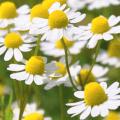 La manzanilla y sus aplicaciones a la salud y belleza 2