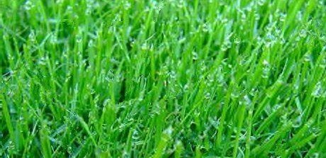 Perennial And Annual Ryegrass