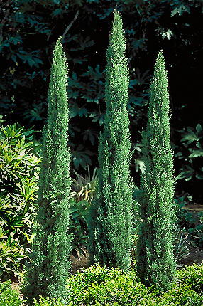 Tiny Tower Italian Cypress