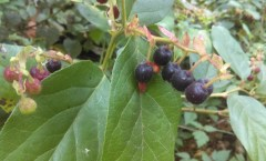 Berries in the LBA Woods