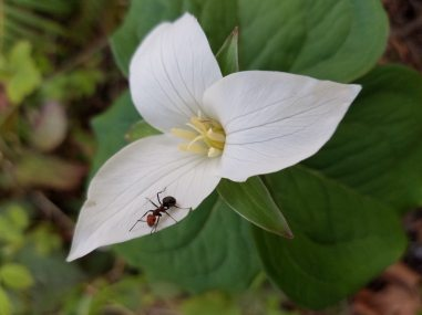 Trillium with a Thatching Ant pollinator