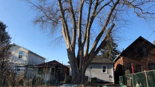 Phot of Black Barn Maple at rear of 95 James Street