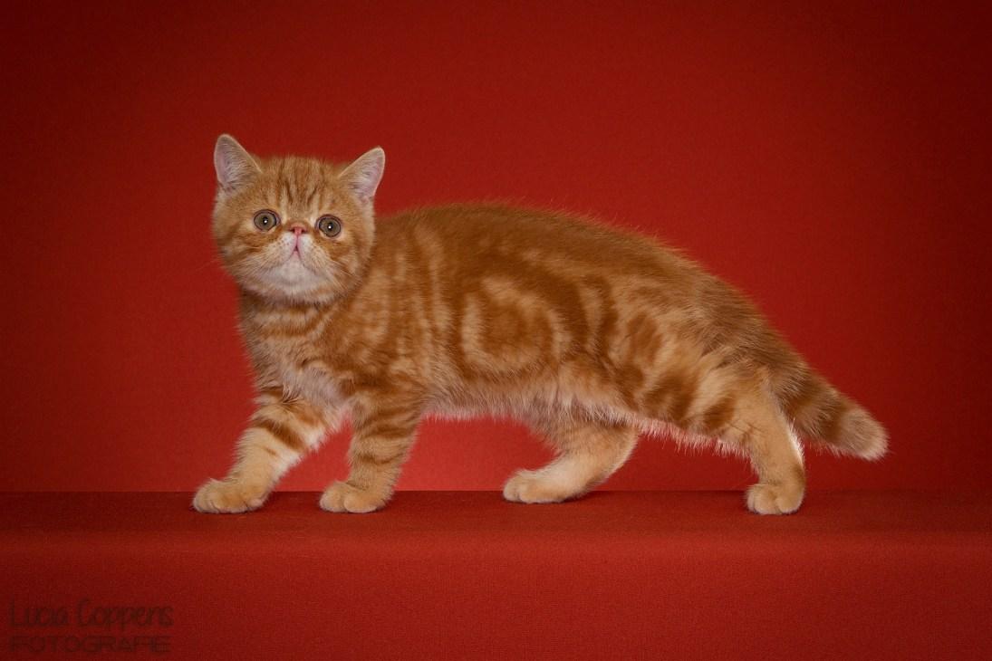 Exotic_Kitten