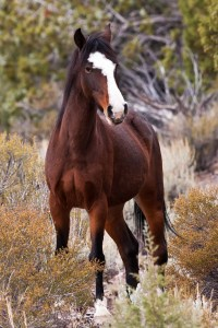 File phoo a Wild horses in Lincoln County are increasingly causing problems, and even accidents on highways.