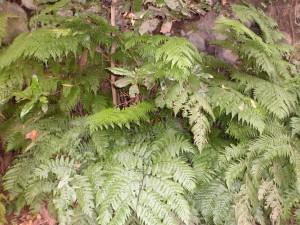 La forêt de Los tillos présente de jolies fougères caractéristiques des forêts au climat subtropical