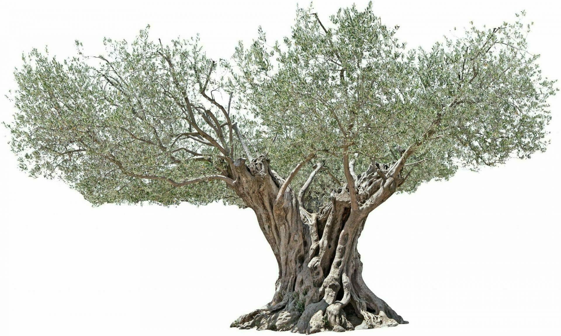 العلماني، شجرة الزيتون، عزل عزل، على أبيض، الخلفية