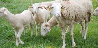 aide-aux-ovins-et-aux-caprins-pour-la-campagne-2014