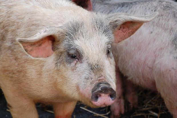 le-soler-nouvelle-edition-de-la-fete-du-cochon