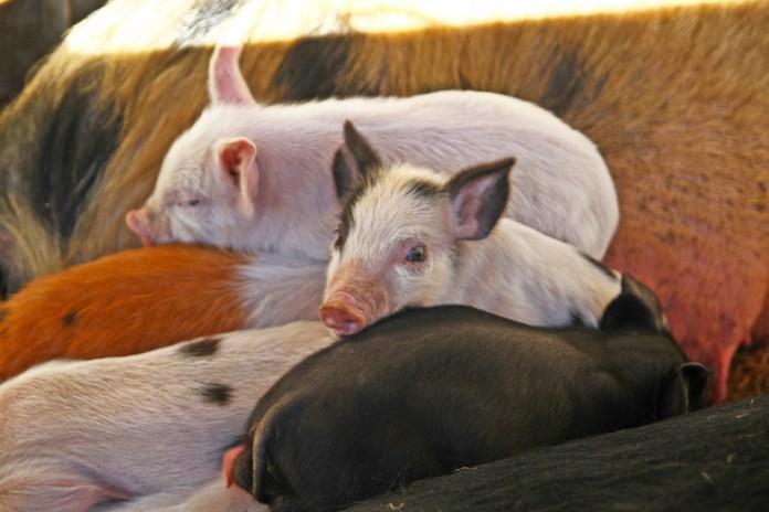 sixieme-fete-cochon-soler-12-fevrier