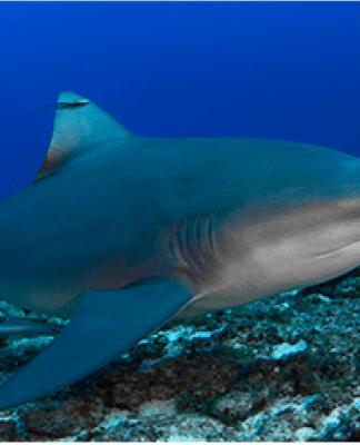 comprendre-les-attaques-de-requin