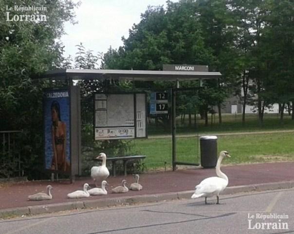 on-pourrait-croire-que-cette-famille-de-cygnes-attend-tranquillement-son-bus-photo-dr