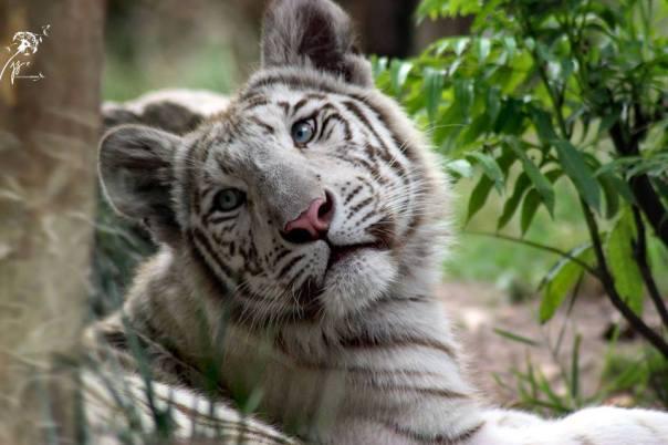 tigre-blanc-zoo-amnéville