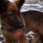 la Russie va offrir ce petit chien à la France en hommage à Diesel, disparu lors de l'assaut à Saint-Denis