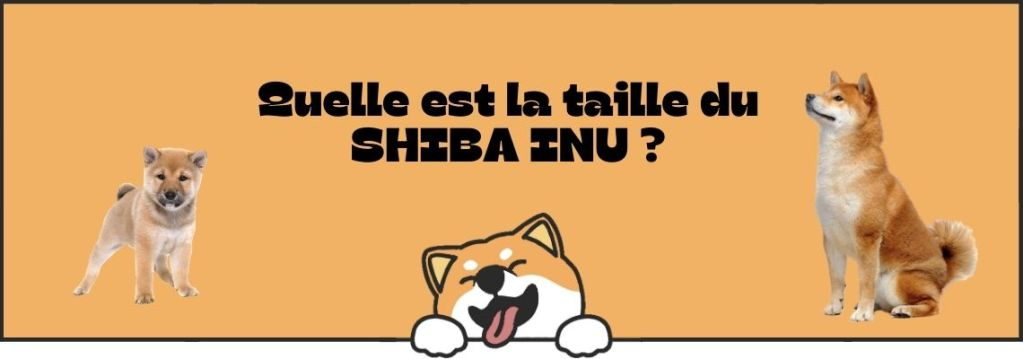 Taille Shiba Inu adulte
