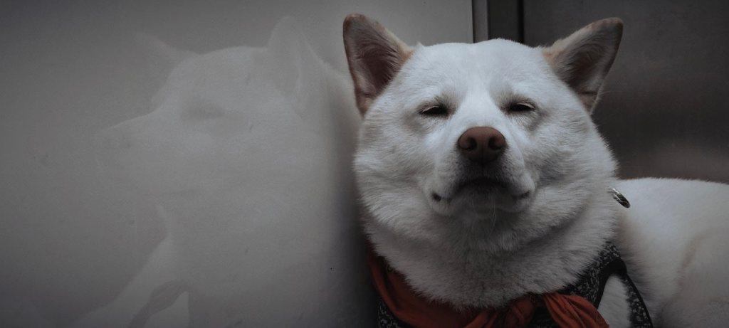Shiba Inu blanc reflet