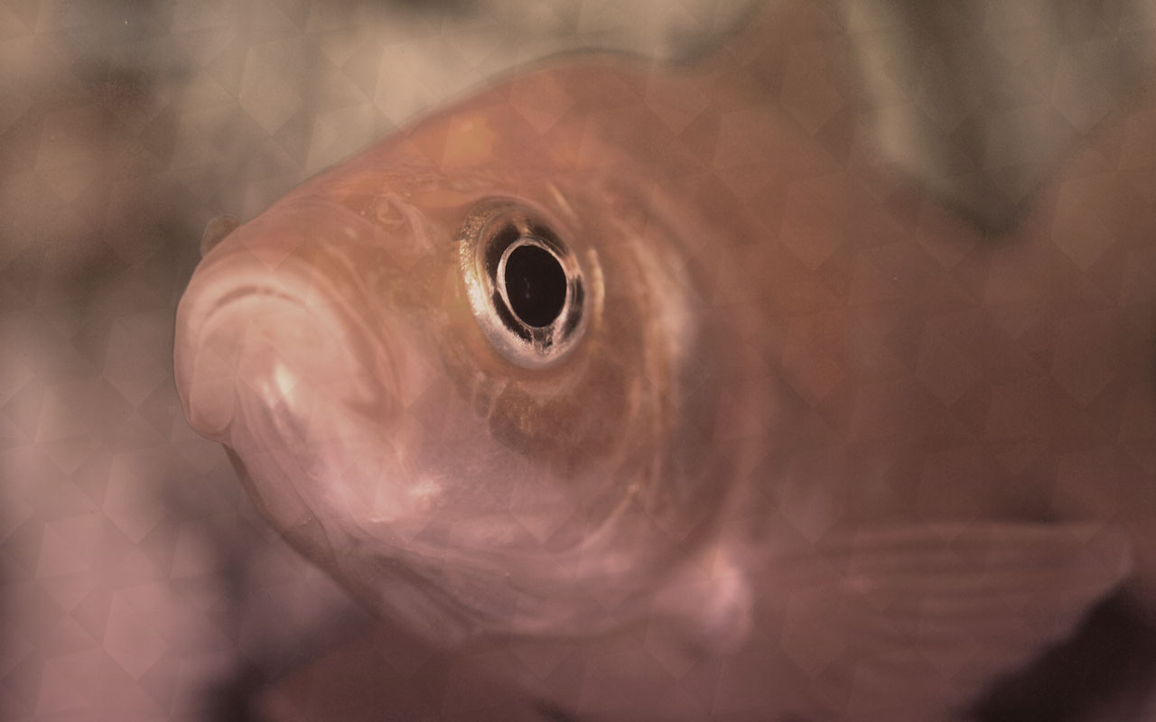 poisson rouge memoire