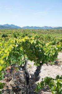 Acustic Celler-Monsant-Grenache-Vines