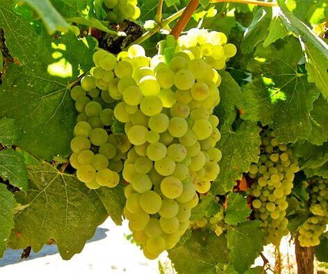 Chardonnay-Rustenberg