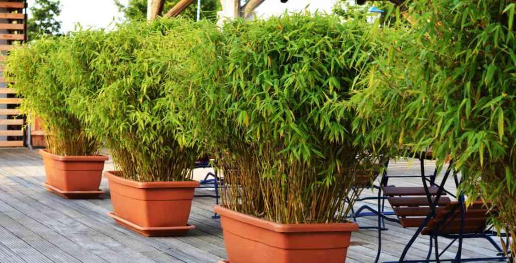 planter des bambous en jardiniere