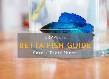 Betta fish complete guide
