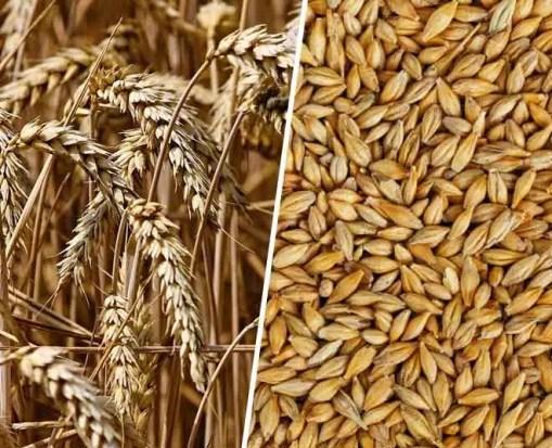 Buy barley online