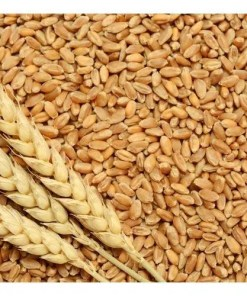Buy Wheat grain