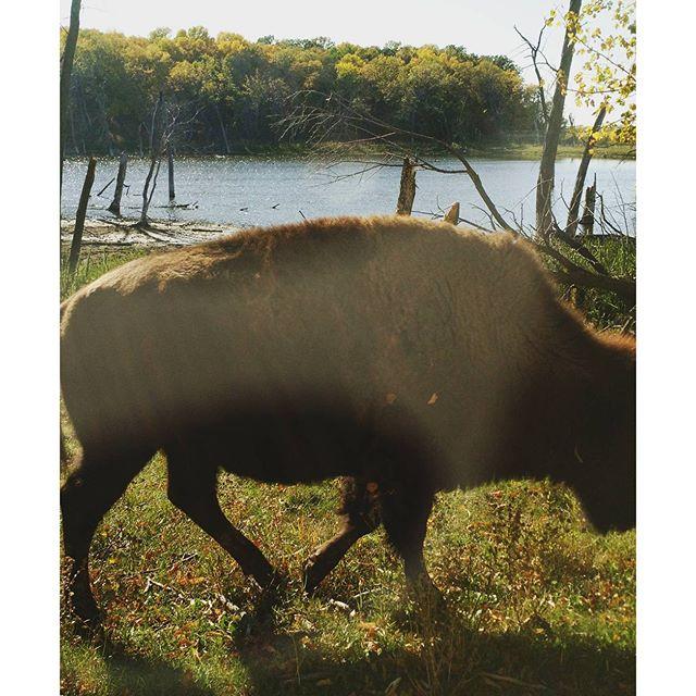 Bison crossing. ?