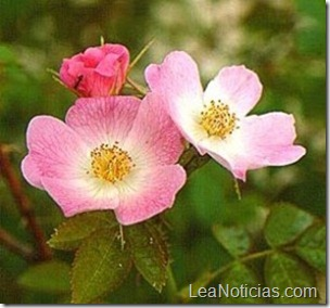 rosa-mosqueta-300x280