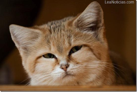 gato de las arenas Felis margarita raza vive solo desierto 1