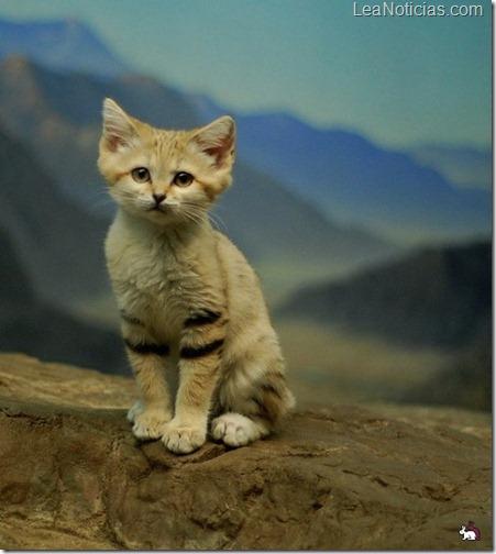 gato de las arenas Felis margarita raza vive solo desierto 2