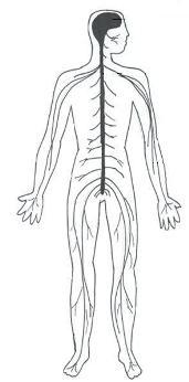 Nervous System for Kids