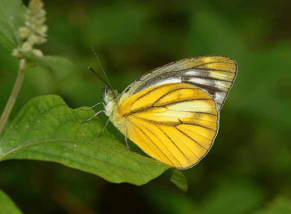 Butterflies of India - Cepora nadina