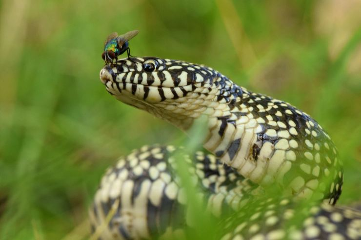 Speckled Kingsnake photo by Justin Sokol