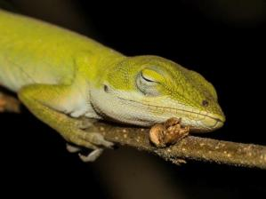 Green Anole photo by Eddie Ledbetter