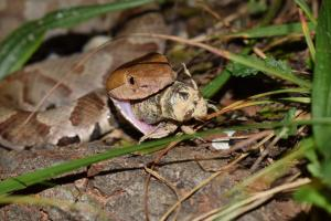 Eastern Copperhead photo by Capturing Contortrix